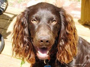 Boykin Spaniel dog breed