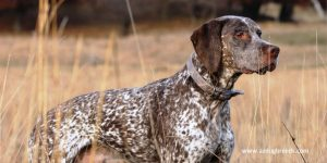 Braque Du Bourbonnais dog breed