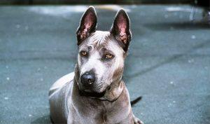 Thai Ridgeback dog breed